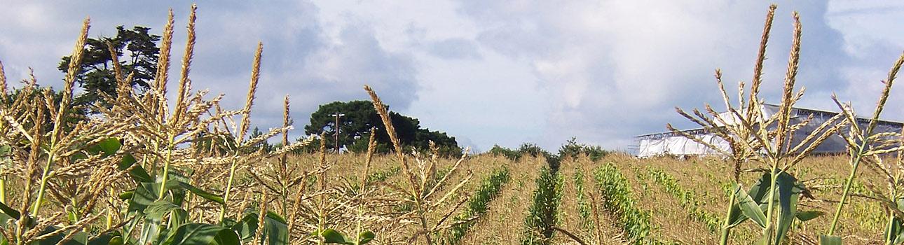 Hampshire Web Designer Gethyn Jones - photo of corn field